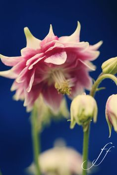 Aquilegia by Alex Fef  Love the pointed outer leaves