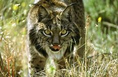 Top 5 Rarest Cats:  Iberian Lynx.  The world's most endangered cat in terms of species, Iberian Lynx stands on the edge of extinction. Despite all the efforts to save it, only around 100 felines remain, divided between two unconnected breeding populations in Andalusia. The Lynx's extinction that will soon follow will be the first extinction of a world feline. Iberian Lynx, Eurasian Lynx, Lynx Lynx, Extinct And Endangered Animals, Endangered Species, Reptiles And Amphibians, Mammals, Jaguar, Cat Species