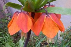 Red Fritillaria (deer proof)