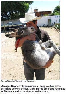 Manager German Flores carries a young donkey at the Burroland Donkey shelter. Many burros are being neglected as Mexicans switch to pickups and tractors.
