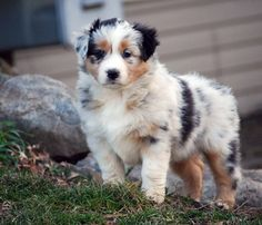 The traits we love about the Intelligent Australian Shepherd Puppies Australian Shepherd Puppies, Aussie Puppies, Cute Puppies, Cute Dogs, Dogs And Puppies, Doggies, Blue Merle Australian Shepherd, Mini Australian Shepherds, Corgi Puppies