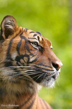 ~~Dreaming ~ Amur Tiger by Patrick Bakkum~~ <3  - www.savetigersnow.org  - tigertime.info - www.savewildtigers.org - www.panthera.org/node/1399
