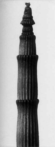 Karl Blossfeldt. Equisetum hyemale.