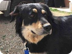 Santa Fe, NM - Australian Shepherd/Rottweiler Mix. Meet BEAR BEAR, a dog for adoption. http://www.adoptapet.com/pet/15098002-santa-fe-new-mexico-australian-shepherd-mix