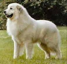 Great White Pyrenees - love this breed