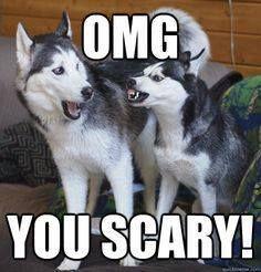 Scary Siberian Husky...  Not!!!