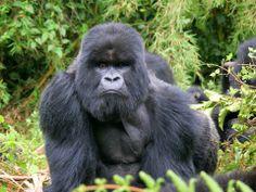 A Gorilla by Adam Riley