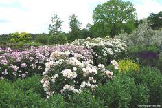 Wisley Garden: Roses