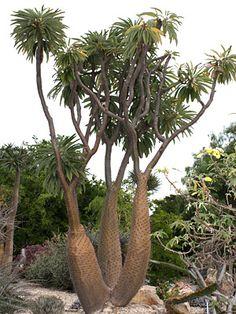 Pachypodium from Madagascar