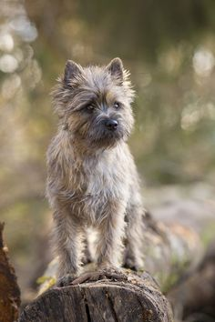 silly lil' nugget of a dog -- cairn terrier puppy Little Dogs, Big Dogs, I Love Dogs, Cute Dogs, Dogs And Puppies, Doggies, Small Dogs, Cairn Terriers, Terrier Dogs