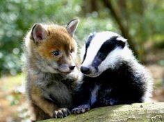 Fuchs- und Dachs-Baby freunden sich an.