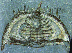 How Cute! Trilobites Curled Up in Self-Defense - Live Science, Article by Tia Ghose. One of the earliest examples of trilobites, tiny crustaceans that emerged during the Cambrian Period, curled up like pill bugs in self-defense, new fossil finds reveal. The findings suggest this self-defense mechanism evolved earlier than thought.