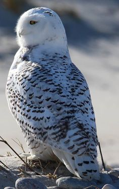 Snowy Owl Photography Pics, Animal Photography, Beautiful Birds, Animals Beautiful, Owl Species, Owl Wallpaper, Owl Family, Owl Pictures, Night Owl