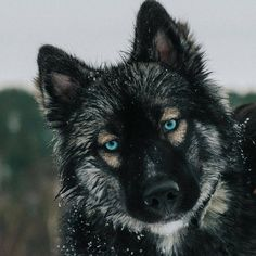 """Determine additional info on """"siberian husky puppies"""". Browse through our site. Agouti Husky, Siberian Husky Puppies, Husky Puppy, Siberian Huskies, Husky Mix, Beautiful Dogs, Animals Beautiful, Wolf Husky, Purebred Dogs"""