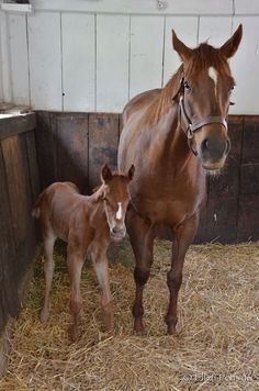Big Brown's new filly out of Corrinaise- so cute! Race Horses, Horse Racing, Derby, Big Brown, Thoroughbred, Dancer, Scale, Felt, Babies