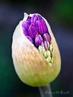 Kunstdrucke und Leinwandbilder mit lila Allium-Knospe