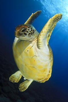 Green Turtle doing the backstroke