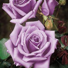 Rose 'Blue Moon' - Cottage Garden Plants - Van Meuwen