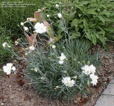 Full size picture of Cottage Pink, Feathered Pink, Garden Pink, Grass Pink 'Mrs. Sinkins' (Dianthus plumarius)