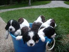 Springer Spaniel Puppies - a bucket full of love ❤️️ Cute Puppies, Cute Dogs, Dogs And Puppies, Corgi Puppies, Doggies, Springer Spaniel Puppies, English Springer Spaniel, Best Dog Breeds, Best Dogs