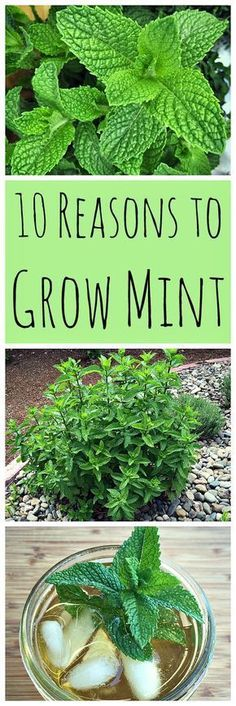 be afraid to grow mint! It has so many wonderful uses and can be grown without fear of taking over your garden.Don't be afraid to grow mint! It has so many wonderful uses and can be grown without fear of taking over your garden. Hydroponic Gardening, Organic Gardening, Container Gardening, Gardening Tips, Hydroponics, Gardening Services, Indoor Gardening, Urban Gardening, Kitchen Gardening
