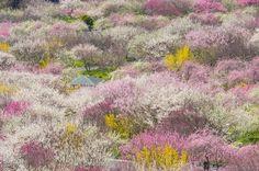 三重県の梅の名所(^o^) 少し登ったところからの眺めはこんな感じです。 今年は満開の時期が早まるのかな〜  撮影日:2015.03.28…