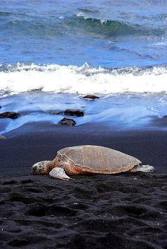 A Hawaiian green sea turtle resting on the black sand beach of Punalu'u in Kailua Kona on the Big Island of Hawaii