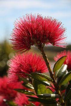 Pohutakawa, New Zealand. New Zealand Christmas Tree. Zealand Tattoo, Nz Art, Kiwiana, Bottle Brush Trees, Parcs, Flowering Trees, Native Plants, Shrubs, New Zealand