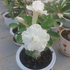 Amazon.com : Best Garden Seeds Adenium Purely White Flower Seeds, 2 seeds, 2-layer middle-sized bonsai desert rose garden plants : Patio, Lawn & Garden
