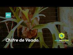 Dicas de Plantas - Chifre de Veado #51 - YouTube
