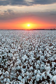 Sunset over a cotton farm in Lubbock, Texas.