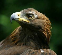 Natureza viva: aves de rapina.