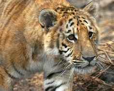Ti-Ligers are the offspring of a male Tiger and a female Liger