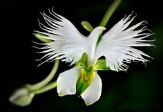 White Egret orchid (Habenaria-Radiata) is found in China, Japan, Korea, and Russia. This flower looks like a white egret with its plumage puffed out.