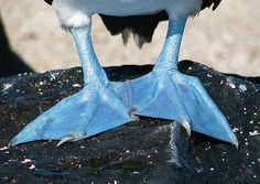 The feet of the Blue-footed Booby can range from a pale turquoise to a deep aquamarine. During courtship, the male will dance and flaunt his pretty blue feet.