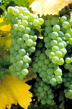 Sauvignon Blanc grapes on the vine