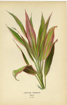 Antique Botanical Print Cordyline Terminalis Plant