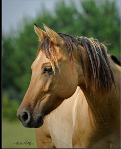 The Carolina Marsh Tacky- beautiful and endangered. Less than 300 remain. Nearly 500 years of history in the lowcountry of the Carolinas & in Georgia. Devoloped from the colonial Spanish horses. Special characteristics of this breed enabled it to survive in the wet, marshy & mucky environment of the lowcountry. Great article of info on this marvelous horse.