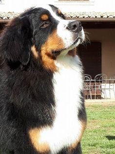 Beautiful Berner !!
