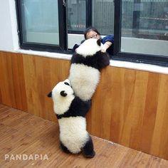 Eh, à ton tour de me faire la courte échelle ! / Pandas. / Photo by @pandapia_channel. / By naturerad.