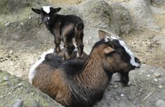 Pygmy Goats from Switzerland's Zoo Basel
