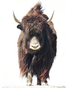 Cow slash Bison art Beefalo no 1. FineArt 16x20 photograph  $60.00, via Etsy.