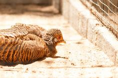 female golden pheasant