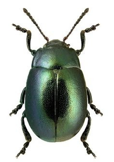 Chrysolina carpathica