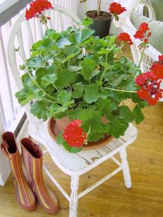 Distressed Chair with red geraniums... perfection
