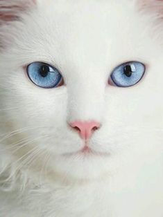 Cre by : Cre by : The post Cre by : appeared first on Katzen. Cute Cats And Kittens, I Love Cats, Crazy Cats, Cool Cats, Kittens Cutest, Pretty Cats, Beautiful Cats, Animals Beautiful, Photo Chat