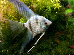 Blue glitter angelfish. Different Fish, Freshwater Aquarium Fish, Angelfish, Beautiful Fish, Cichlids, Vertebrates, Blue Glitter, Animals, Animales