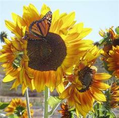 Sun flowers and butterflies