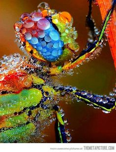 A Dragonfly covered in dew…