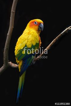 This photo was sold today @fotolia by Adobe Sun parakeet (Aratinga solstitialis) https://eu.fotolia.com/id/111951380